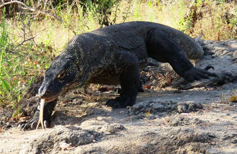 Komodo Island Komodo Dragaon Komodowaran Riesenechse Indonesien