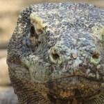 Komodo Island Komodo Dragaon Komodowaran Riesenechse Rinca Indonesien