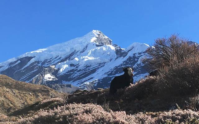 Nepal Yak Annapurna Circuit