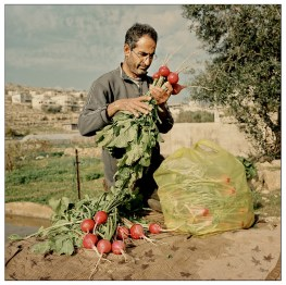 Hamed, cleanning his radishs before taking them to the market.