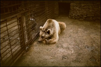 Bear of a private zoo in the mountains of Vank, the zoo is owned by a rich Armenian Diaspora.