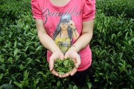 A woman holds tea leaves collected from a plantation nestled in the remote mountain valleys of northern Sichuan. Tea plantations are some of the projects being targeted by the EU-China Biodiversity Program to promote sustainable harvesting in the region.