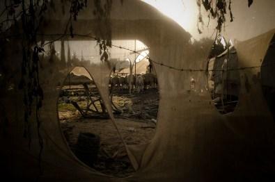 Sheeps in Beit Lahiyah camp. Gaza Strip. 04-12-2010.