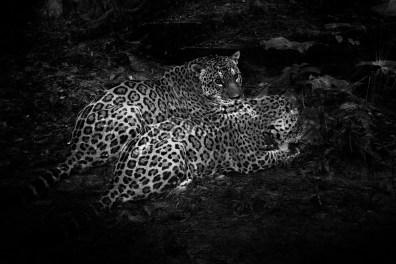 Jaguar. Iquitos, Loreto region. Peru. The Amazons. 2012.