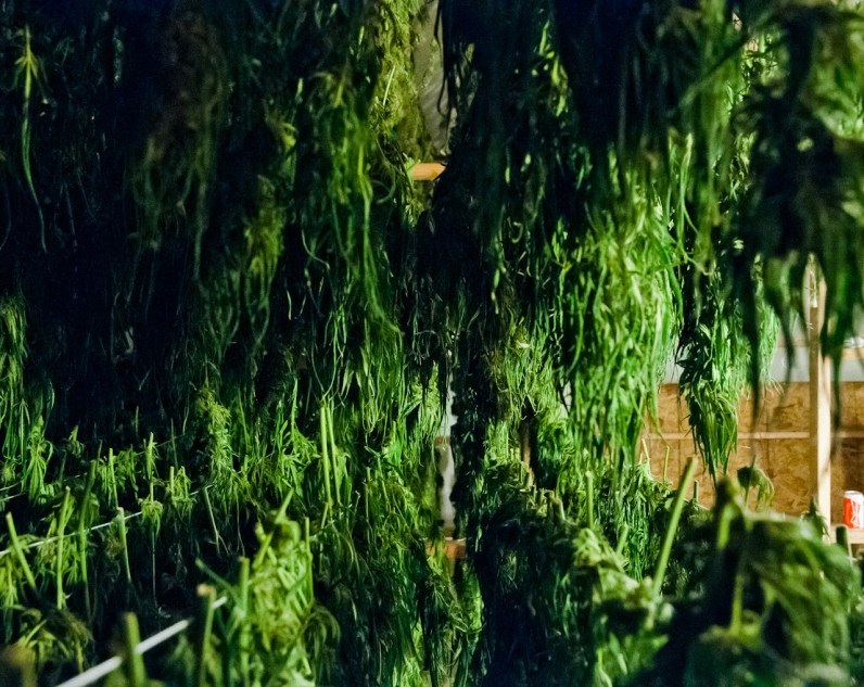 Long rows of marijuana plants hang to dry in the basement of a grow house in California's Mendocino County.