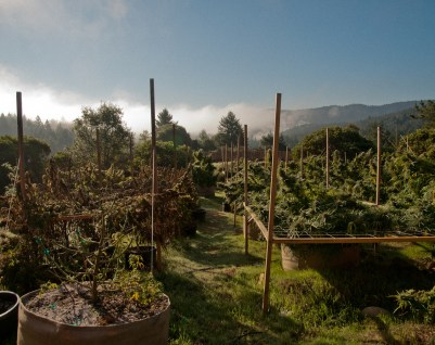 An outdoor marijuana garden about to be harvested, on the left are wilted plants that were not tended to properly. This grower was new to cultivating cannabis and lost a large amount of his yield, a costly mistake, he didn't hire enough people to help with the grow. This farm was in California's Mendocino County.