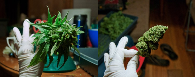 The 4 stages of a marijuana bud after harvesting are pruning (including demolding), drying, trimming, and cutting into buds. On the left is a freshly harvested bud, about to be pruned, removing the large leaves so it will dry faster. On the right, is a bud which has been trimmed, after the drying process. The next step will be to cut the large trimmed bud into smaller buds, making it ready to sell to the public.