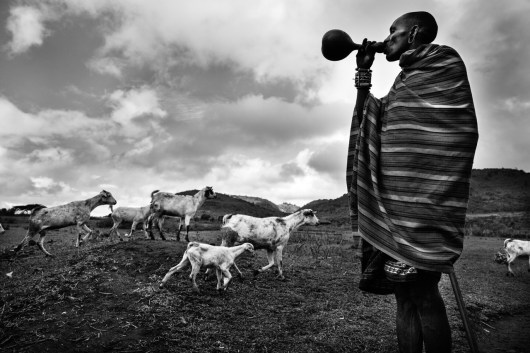 Masai Man is drinking while he is herding the cattle.