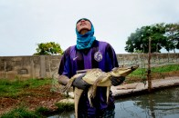 Colombia, two hours from Barranquilla. Within an intensive breeding farm for crocodiles. Here during the capture of a caiman intended along with hundreds of other specimens, to the Asian market. The capture is performed manually and is made possible and safe through the experience of a team specially prepared. The first intervention immediately after the catch is the application of an elastic rubber band on the mouth of the alligator to prevent the animal bite.