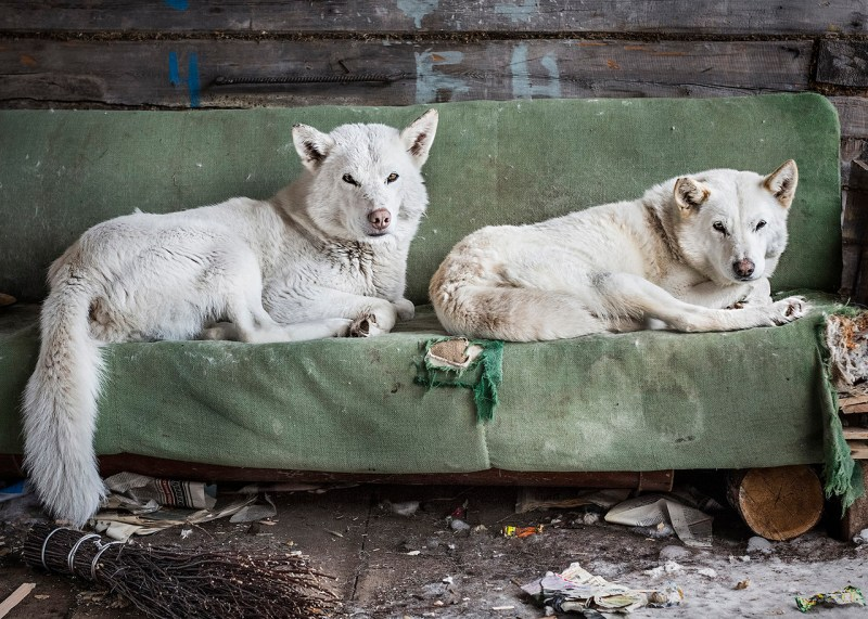 Dogs live outside the houses in dog kennels all year around. Locals crossbreed dogs with best hunting qualities and keep genealogical track of each animal. There is a waiting list to get one of such dogs. Katangsky District, Irkutsky region. Russia, 2016 – © Elena Anosova