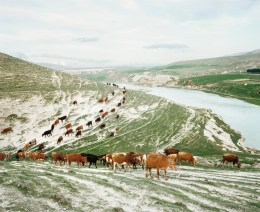 A herd of cattle are walking back towards the village by the banks of the Tigris river. Hasankeyf, Turkey