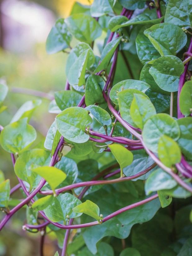 Malabar Spinach, Red Stem