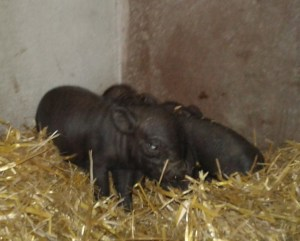 4 piglets just a few hours old