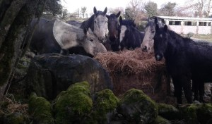 Ghost, Sky(showing weight loss along the spine), Hobo, William, Indie & Echo 4-2-17