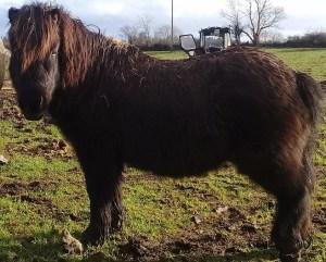 Harry shetland pony