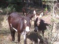 Burros baleares2