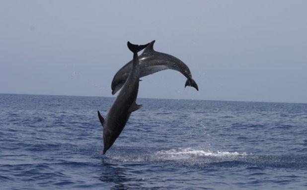 Delfines en las inmediaciones de los Órganos en la Gomera