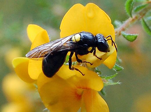 Amphylaeus morosus_BeesBusiness