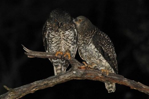 Powerful-Owl-Glenbrook-pair