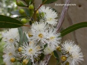 grey gum flower j dark
