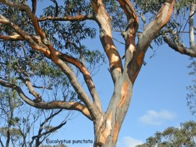 Grey Gums are one of the tree species typically found in Shale Sandstone Transition Forests (above).  Images: Jill Dark