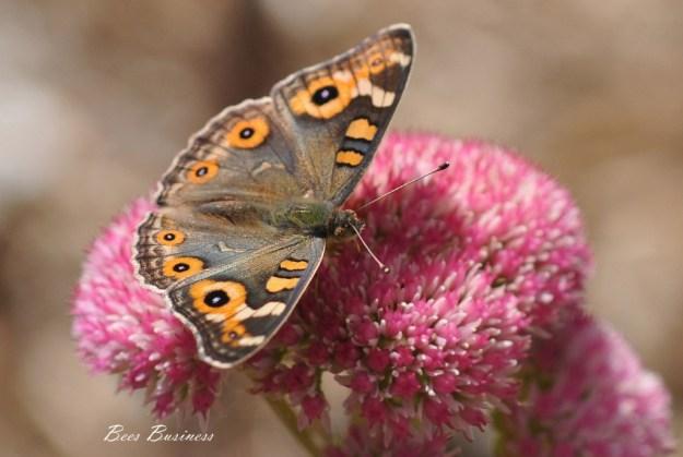 Medow Argus butterfly_Junonia villida calybe