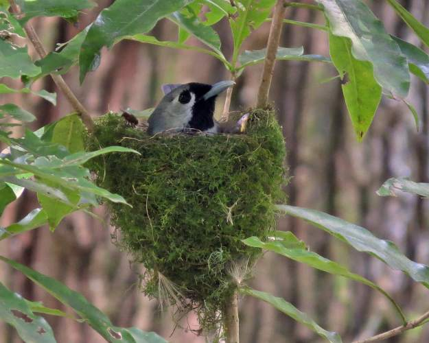 Black Faced Monarch with Chick in Nest photo by Carol Proberts