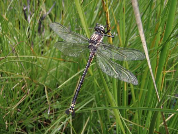 Male Petalura gigantea Giant Dragonfly. Photo by Ian Baird