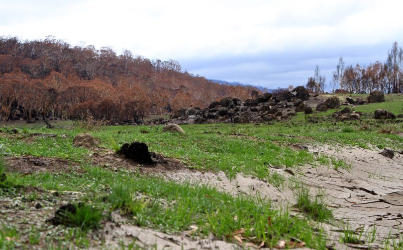 Grassland showing signs of life in Namadgi National Park following the past summer's bushfires. Photo: Michael Weaver.