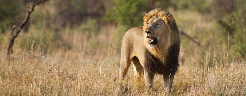 wildlife-lion-sabi-sands-large_0