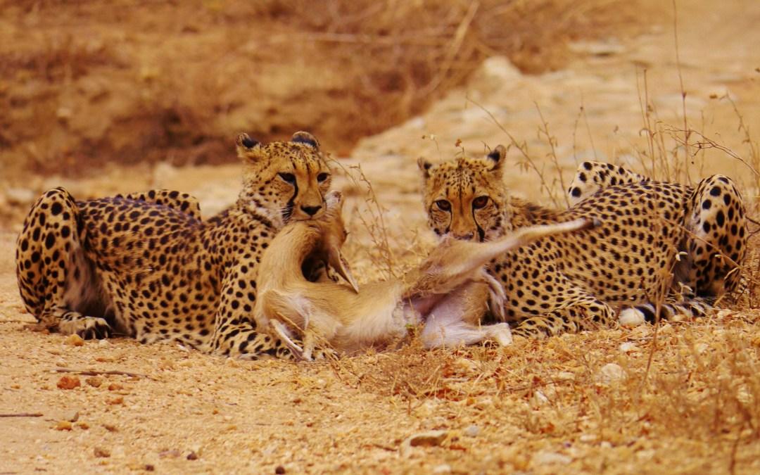 Cheetah kill!!!