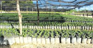 Oil palm seedlings. Credit: R H Group