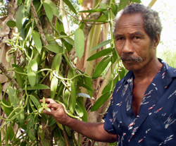 A vanilla bean farmer  tests his product