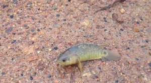 The Climbing Perch fish. Credit: ABC