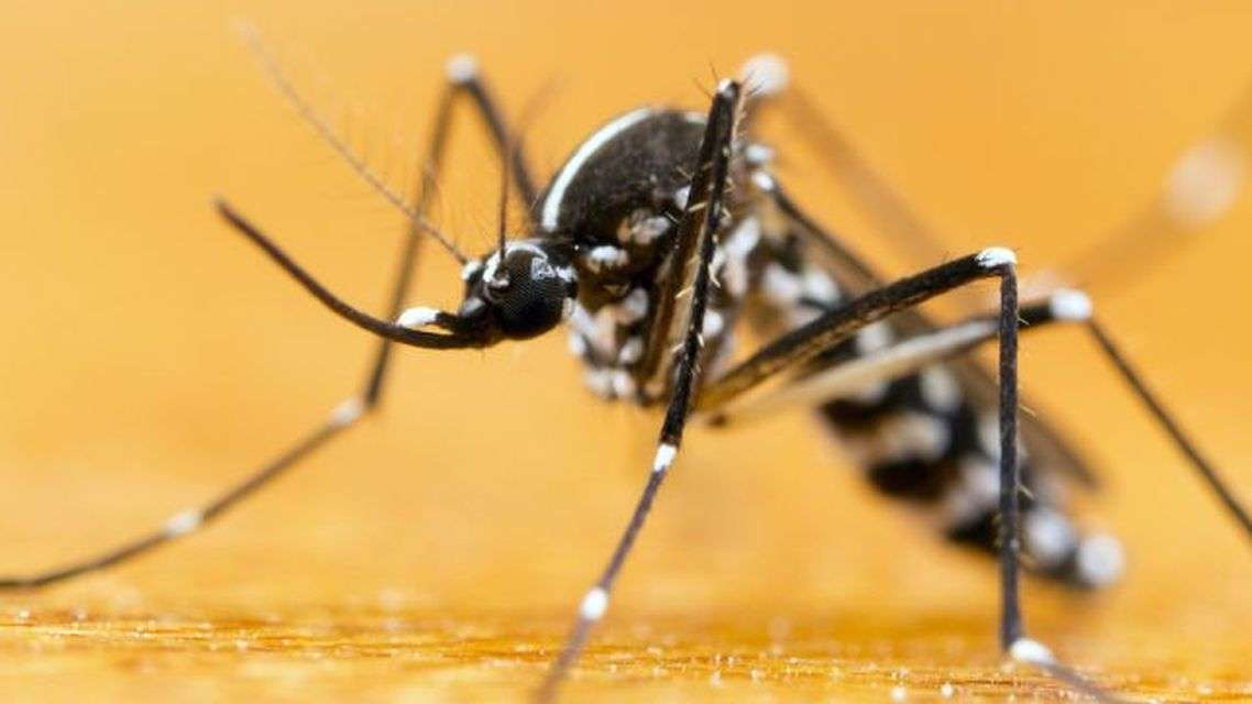 Millions of mosquitoes genetically prepared by humans will fight Zika virus