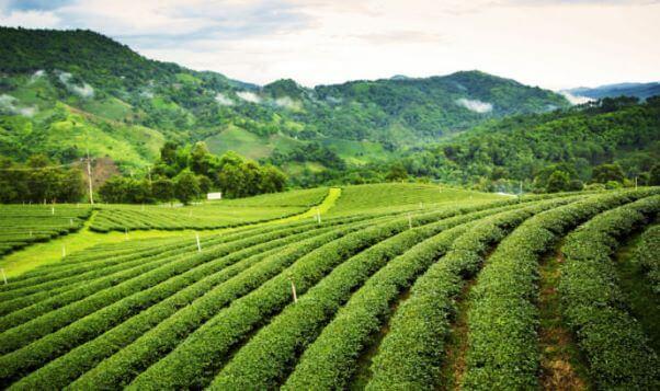 Go on a Tea Tour in Assam