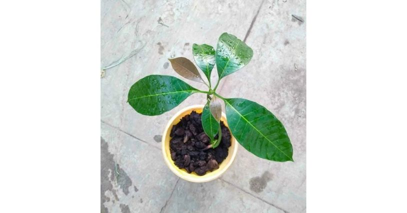 How To Grow Mango Tree At Home