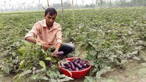 Photo of Farmer destroys brinjal plantation in despair after receiving 20 paisa per kg for produce