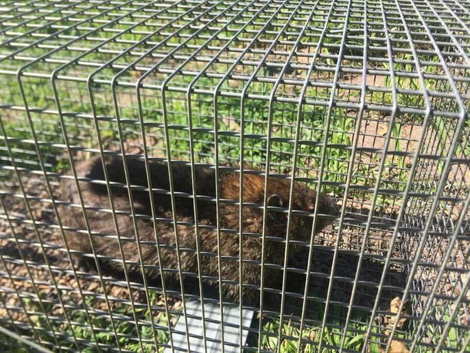 Papa Hog could not resist cantaloupe and was captured in a live-trap.
