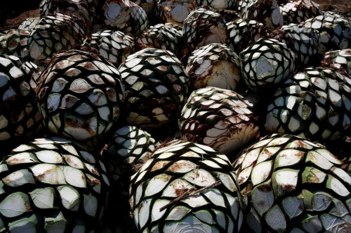 © Reuters. FILE PHOTO: Blue agave hearts are pictured on top of a truck on the outskirts of Tequila
