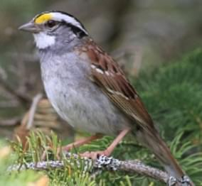 A white-throated sparrow is pictured here