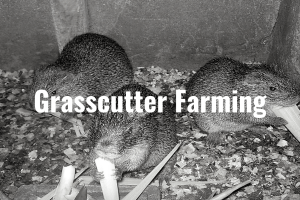 Grasscutter farming business plan