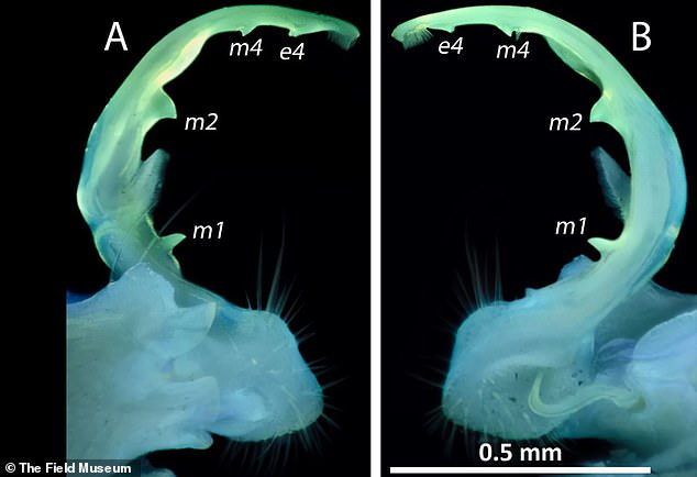 The glowing genitals of Pseudopolydesmus caddo under ultraviolet light which has 70 legs.The genital structures are called gonopods and are located on the seventh ring of millipedes' segmented bodies