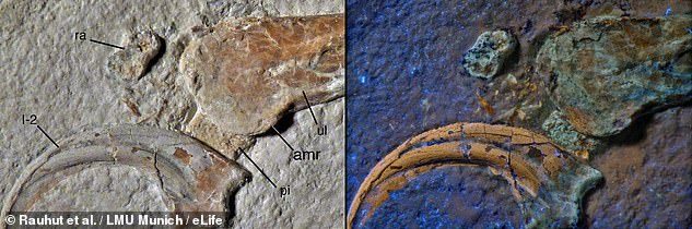 Archaeopteryx is widely believed to be the first bird to ever live, but it may not have been alone in the skies 150million years ago.An Archaeopteryx fossil was also unearthed from the same limestone unit as the new species, which suggests that the two creatures lived at the same time