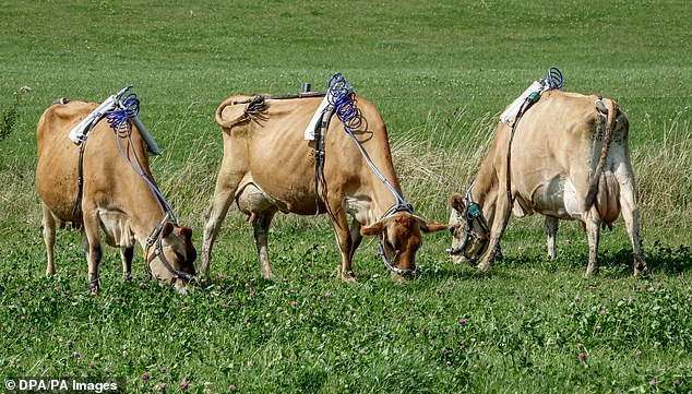 Changing the diet of the cows can alter how it is processed and modify the end result, with lower concentrations of certain gases and researchers are trying to find the best way of minimising methane content