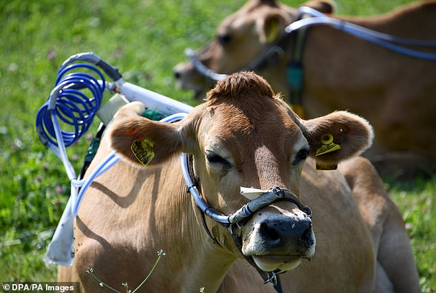 The cows do not seem flustered by their bizarre accessories which are essential in tackling methane emissions and the larger issue of the worsening climate crisis.A UN report issued earlier this month found the world must turn towards healthy plant-based diets to stop climate change