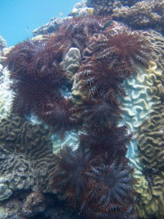 Crown of Thorns Starfish feeding off coral on the Great Barrier Reef.