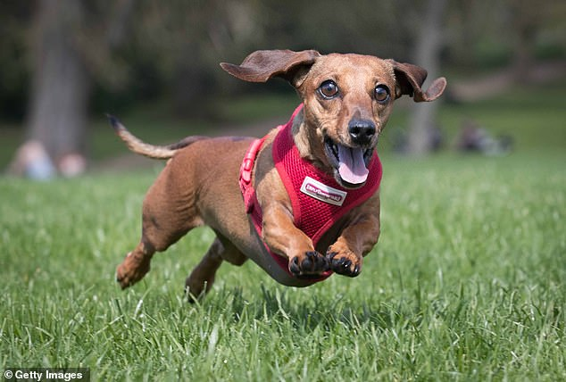 Gunning for the top place. Miniature Smooth Haired Dachshunds, a breed owned by celebrities including Adele and Tanya Burr, popularised on social media and starring in many billboard and TV adverts, have increased in popularity by 23 per cent since 2018 according to the new data
