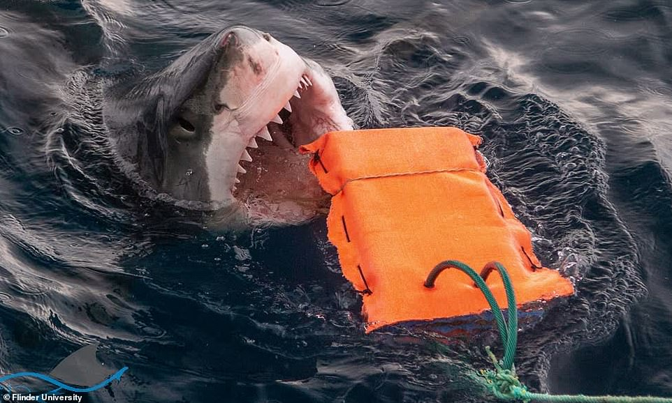 They measured the force of the shark bites on the test materials by wrapping them around steel plates that contain sensors.