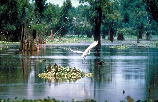 Dr. DeLong says the underwater forest in Alabama reminds her of the forest in Louisiana s Atchafalay...